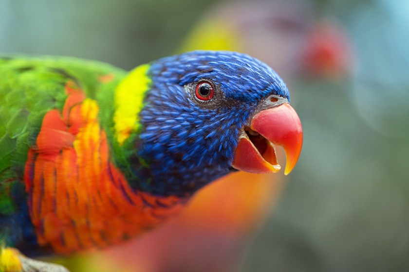 A small brightly-coloured parrot peering at the camera from the left size of the frame, beak open as if excited.