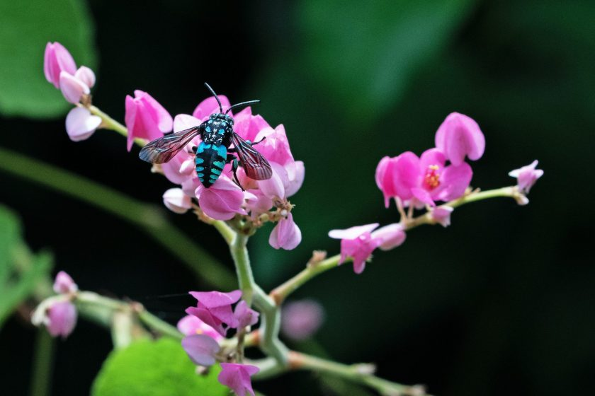 A blue cuckoo bee sitting on a pink flower