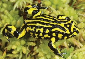 A Southern Corroboree Frog crawling over moss. Its body is covered in striking bright yellow and black markings.