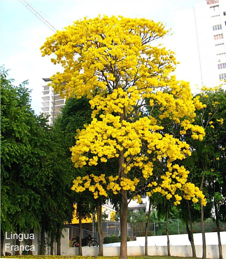 Primavera tree Puerto Vallarta