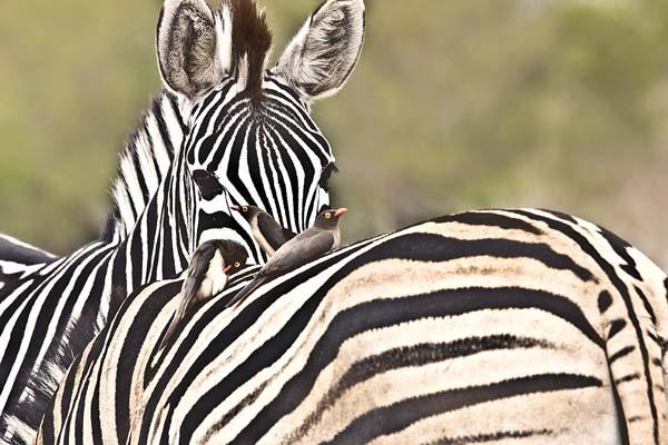 cebras-kruger-quehoteles