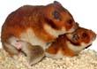 [Hamsters]