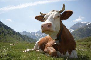 Kuh zum Muttertag