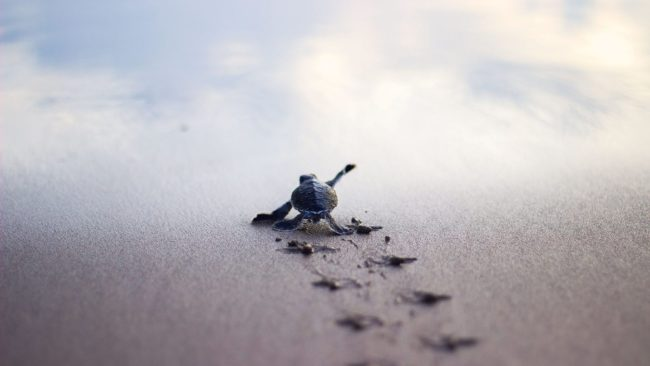 my-girlfriend-took-this-picture-of-a-baby-turtle-desperately-running-to-the-sea-shore-imgur-1600x1066