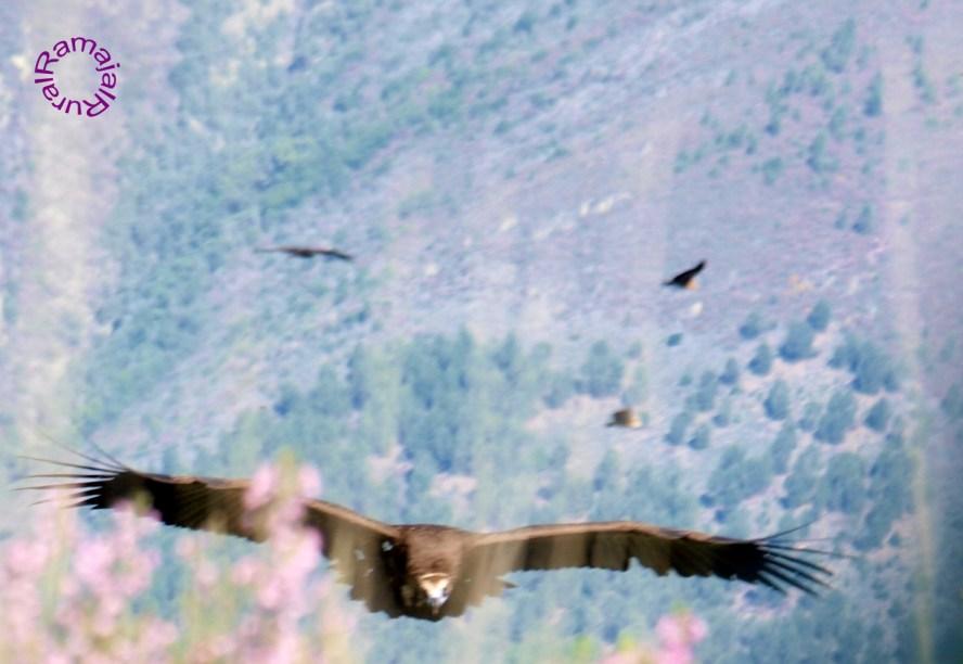 Buitre negro, los  más de dos metros de envergadura de este ave, la hace majestuosa