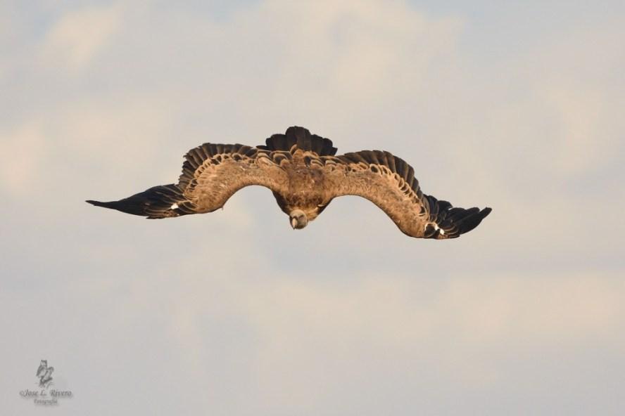 El vuelo de estas aves ha despertado siempre la atención del ser humano
