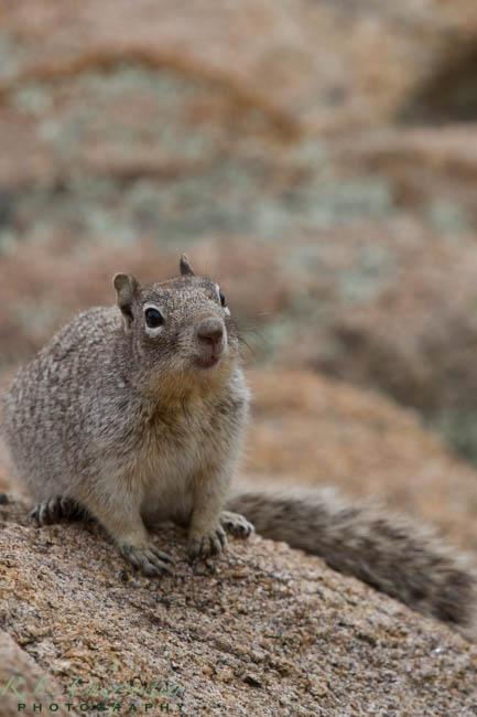 Prescott Squirrel