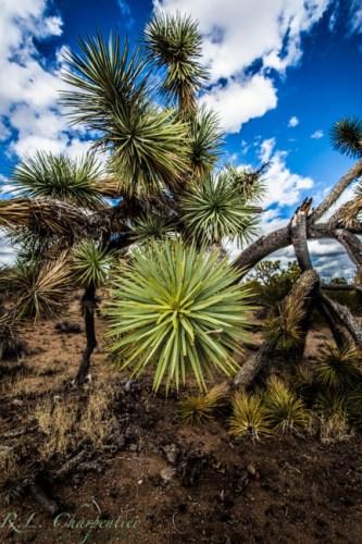 A Joshua Tree....in Arizona!