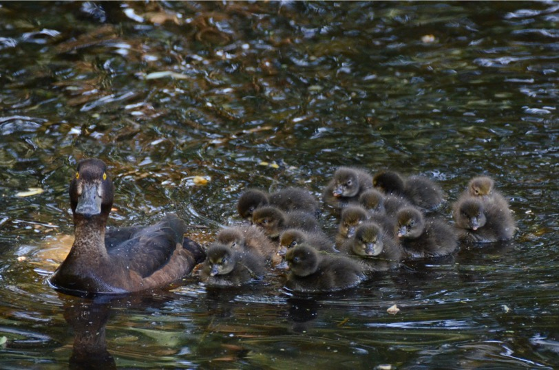 Tufted Duck family
