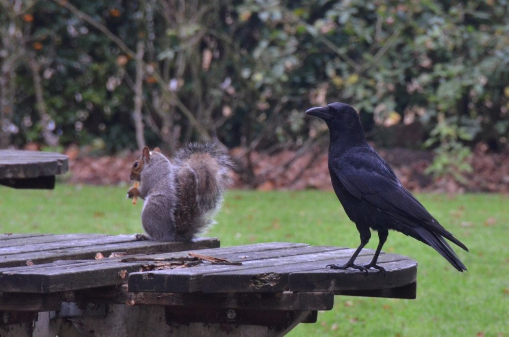 Grey Squirrel (left) with Carrion Crow