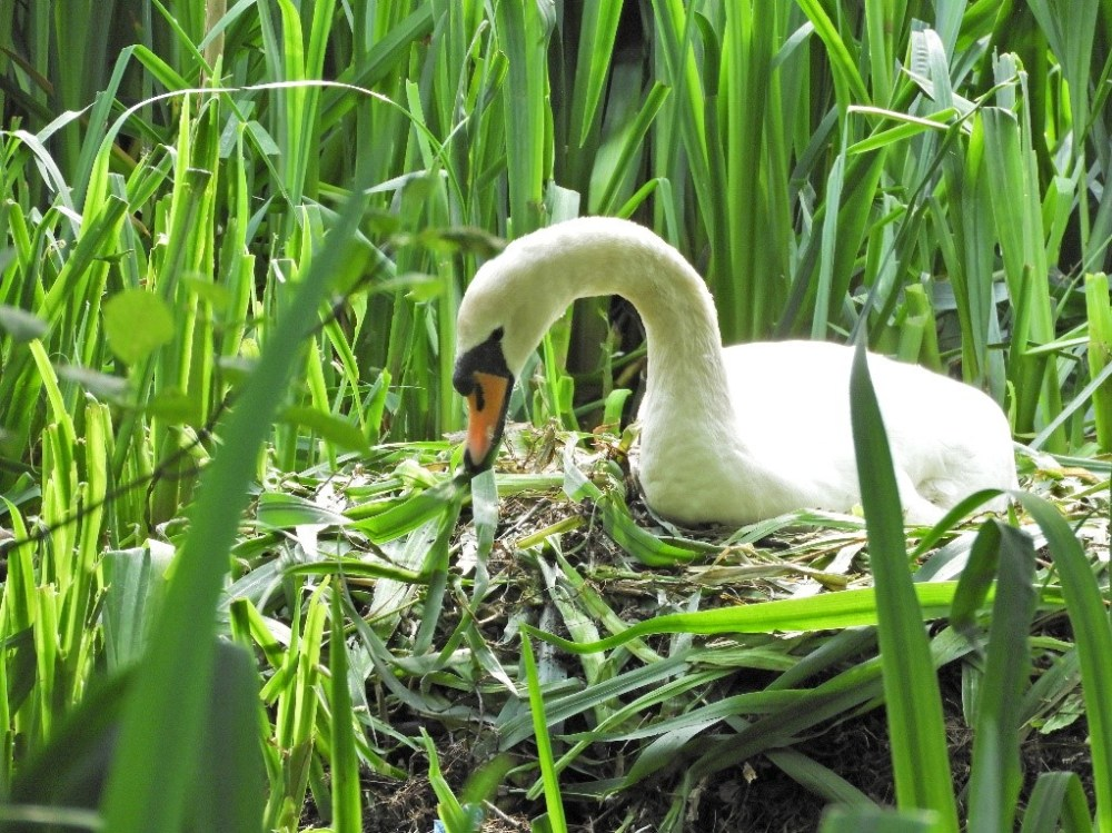 Swan arranging nest