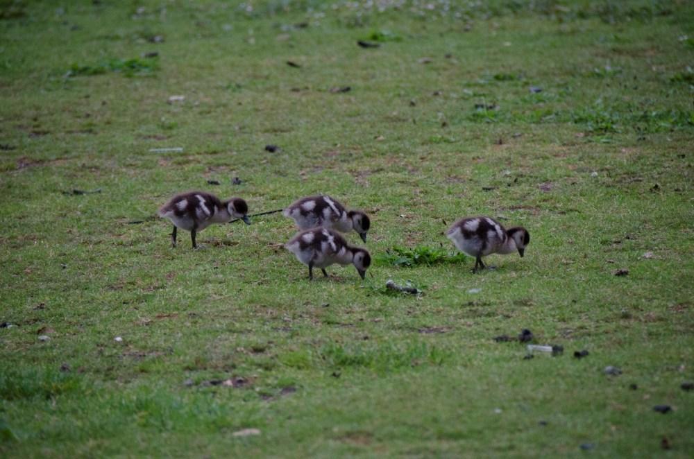 Egyptian goslings at Froebel
