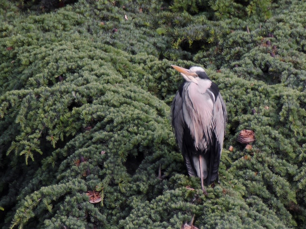The last picture of the Heron, sitting in a tree near the lake