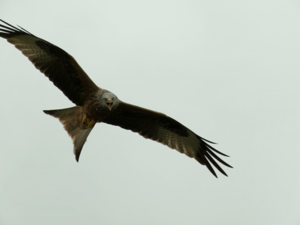 Red Kite in Oxfordshire