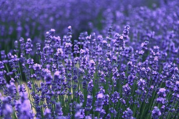 lavender-543728_1280