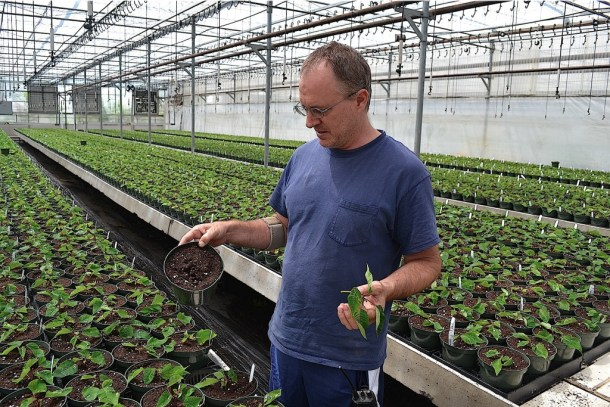Roger Esbenshade, president of Esbenshade's Greenhouses Inc., with a poinsettia cutting and the pot it will grow in.