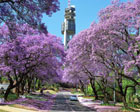 We Love Jacarandas