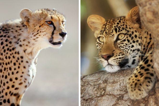 Cheetah vs Leopard