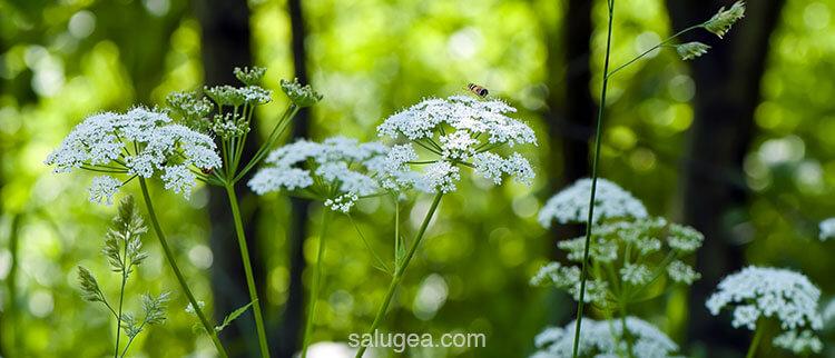 angelica sinensis per la menopausa