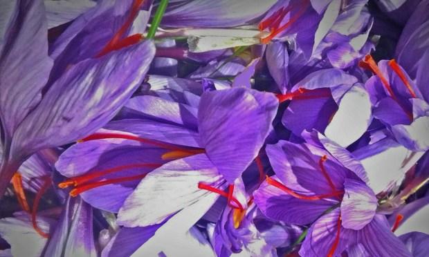 fiori di Crocus sativus appena raccolti | ©foto Croco e Smilace