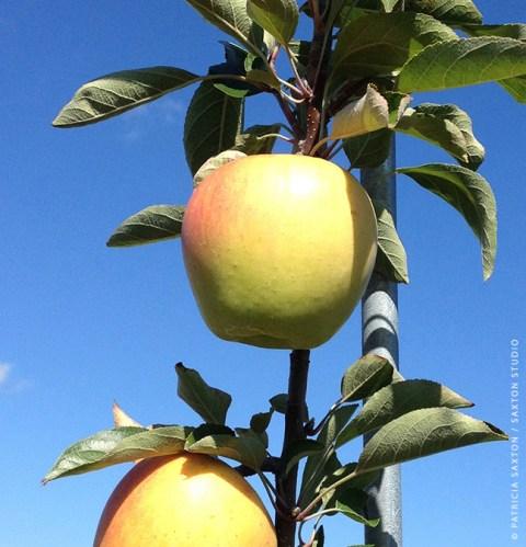 apples.tree.sig