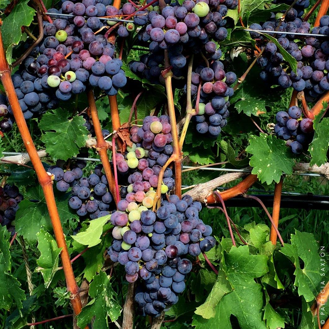 grapesa