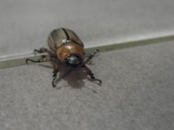 Beetle sighted on 6 Aug 2011, 12.17am