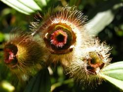Mangrove flowering plant