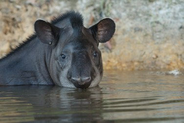 CAPTION: Gorgeous animals! We felt really lucky to be able to see so many of these shy and magnificent creatures! Tapir by Sean McCann.