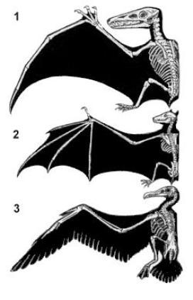 Anatomy of three different types of wing: (1) pterosaur; (2) bat; (3) bird.