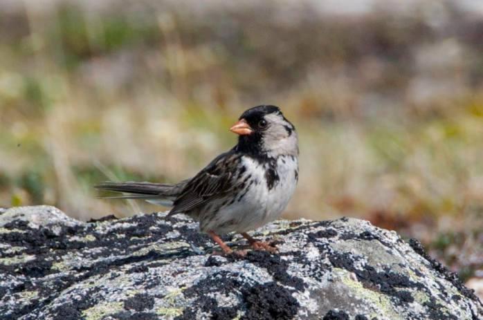 Harriss sparrow
