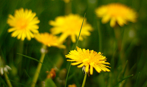 Dandelions in bloom. Dandelion root extract may provide a novel anti-cancer treatment therapy, says Dr. Siyaram Pandey of the University of Windsor. Photo © Waferboard, CC BY 2.0