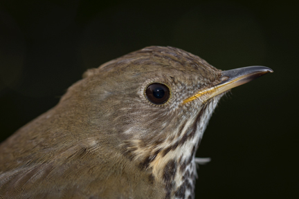 Bicknells-Thrush_Image-copyright-K-P-McFarland-used-with-permission