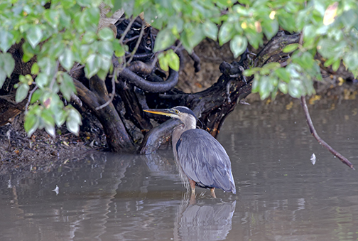Great-blue-heron-by-Lorne
