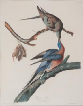 Passenger-pigeons_John-Audubon