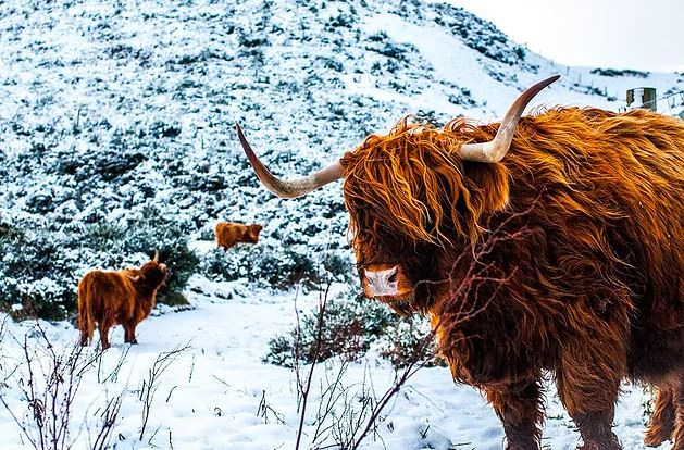 Highland coos on the Pentland Hills (credit and copyright: Andrew Palmer)