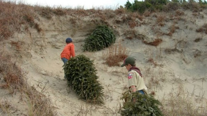 Scouts hauling Christmas trees up a dune