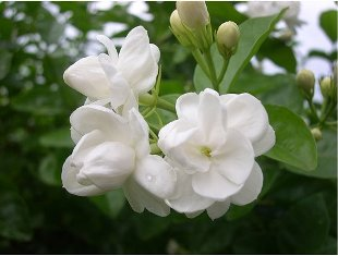 Image Courtesy:http://songs-i-love.blogspot.com/2008/08/song-zuying-molihua-jasmine-flower-and.html