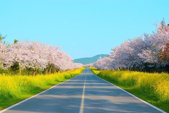 濟州島賞花 | 東南旅遊