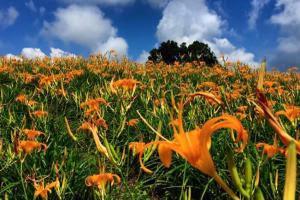 花東金針花季|東南旅遊