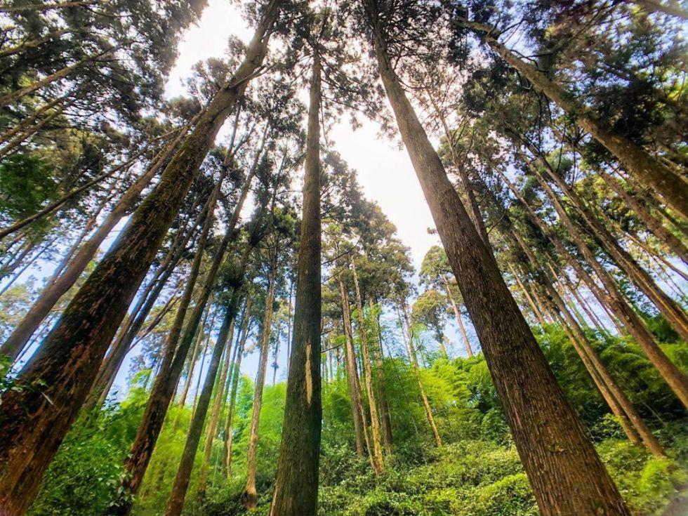 雲林杉木林步道|東南旅遊