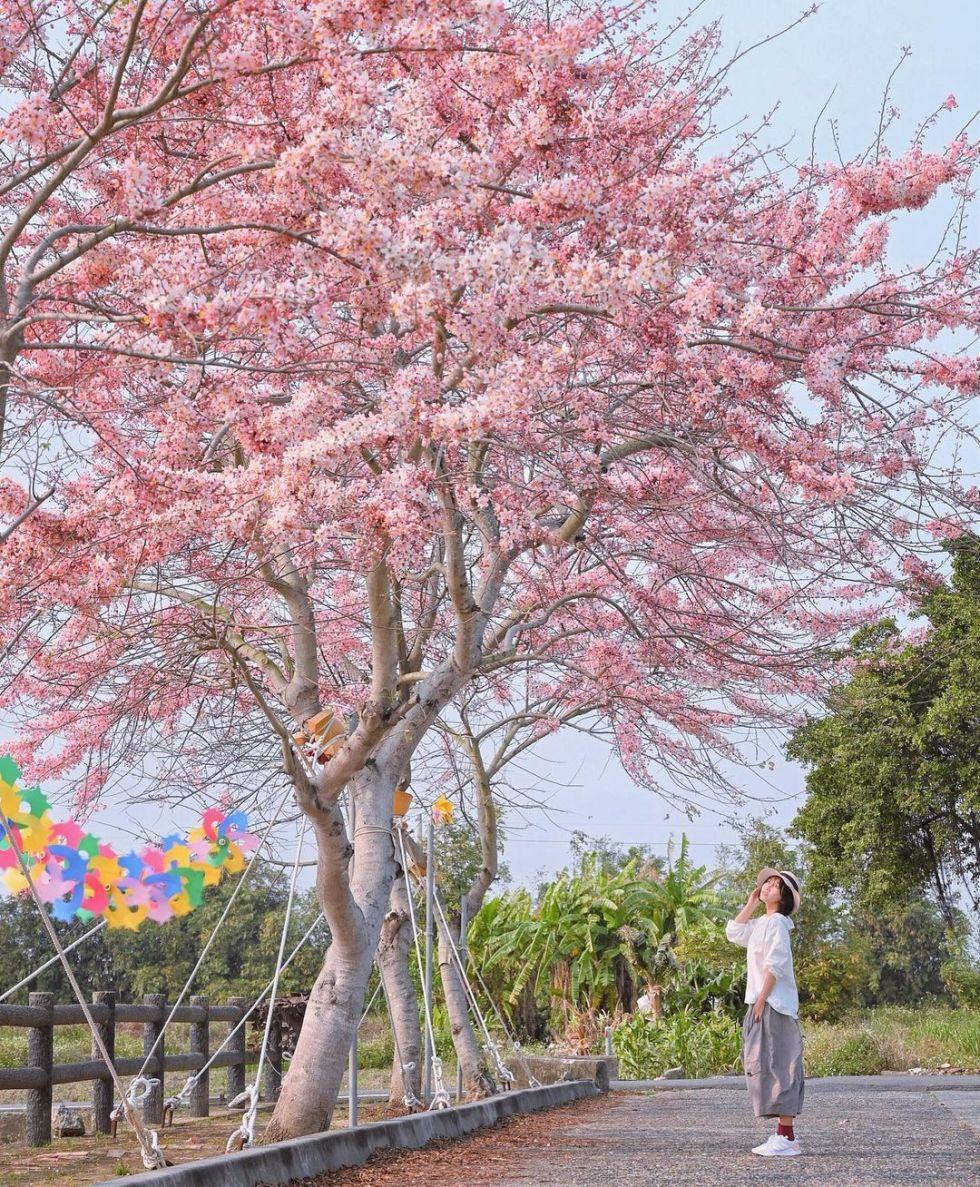 台南金砂里花旗木|東南旅遊