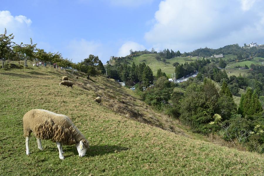▲台灣南投清境農場,綿羊與草原(圖/東南旅遊提供)