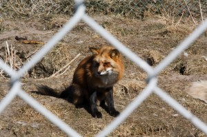 Fuchs Zoo Blavand