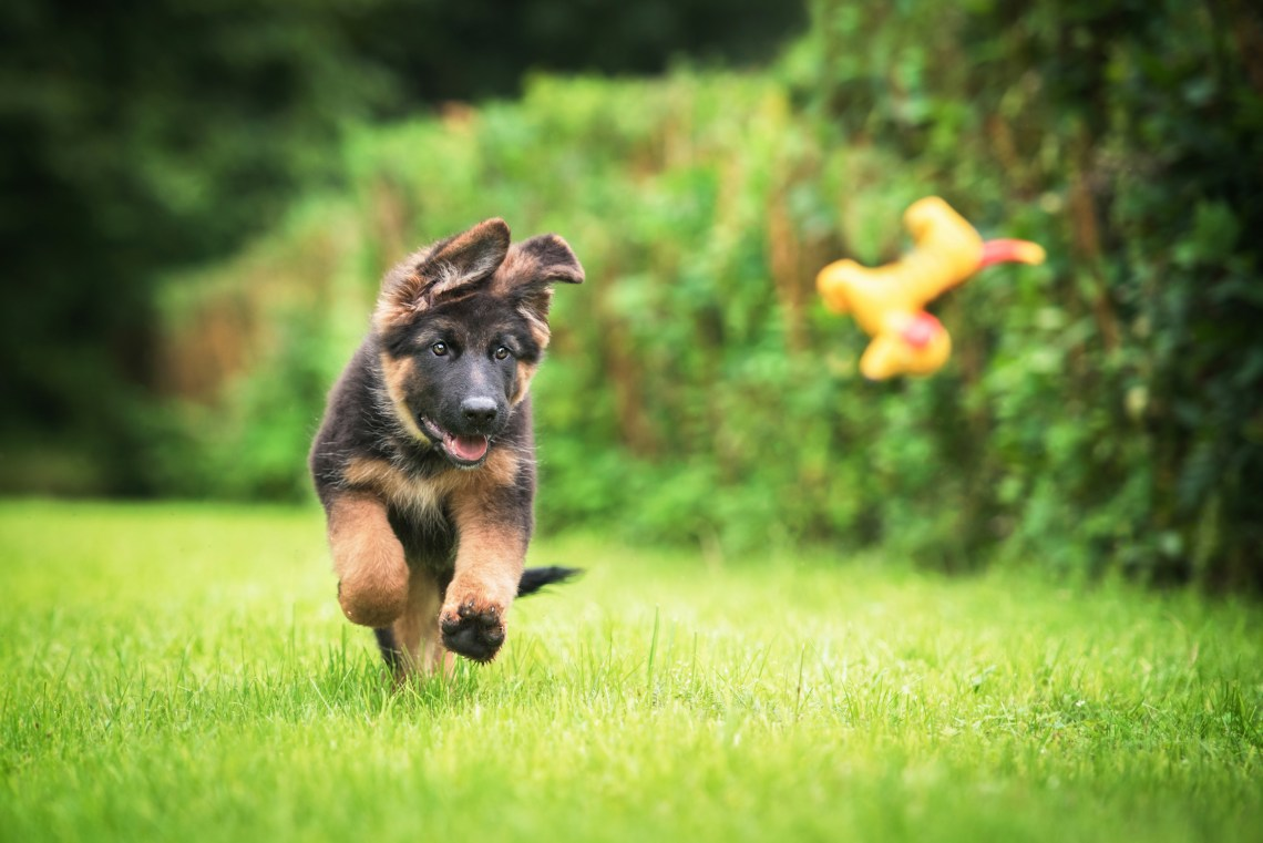 German Shepard puppy frolicking in green grass.