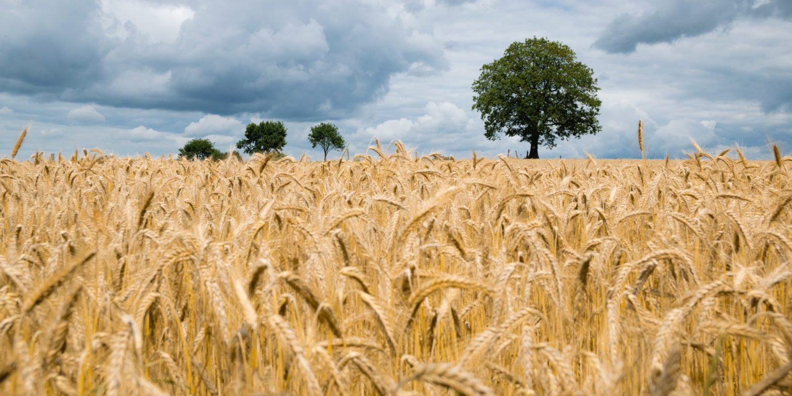 Russian wheat FOB prices stabilize after a sharp sell-off