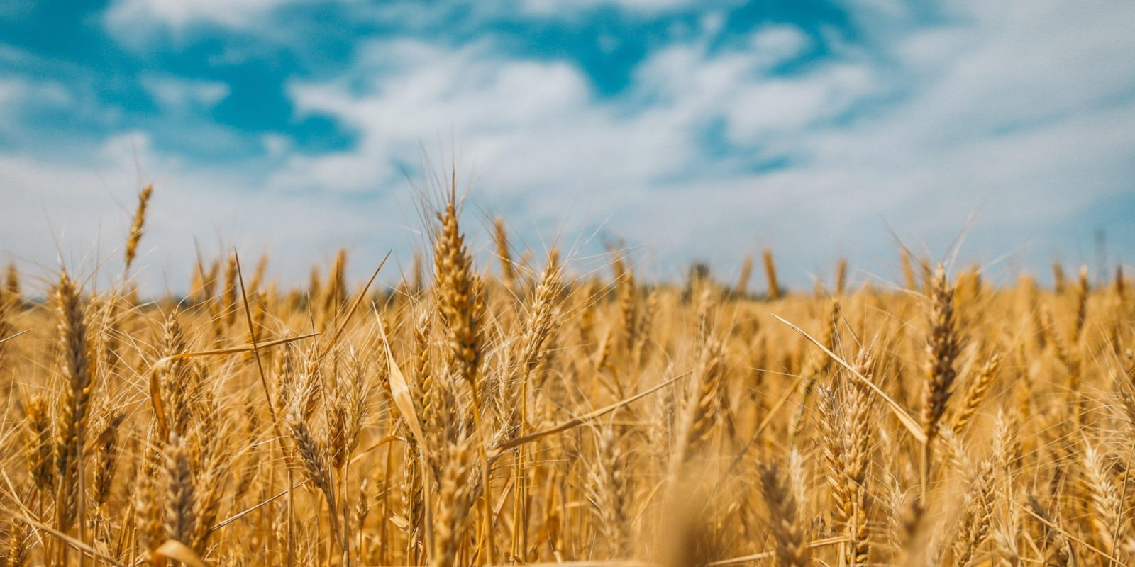 Weather helps new Russian wheat crop, SovEcon upped the forecast