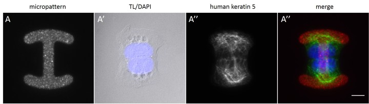 Fig. 17 Cell pairs on an H-shaped micropattern. 24 h after seeding AK13-1 cells of a CYTOOchip™ cell doublets coupled through desmosomes in the middle are found frequently on H-shaped micropatterns. Micropattern is detected by fluorescently labeled FN (A), nuclei by DAPI staining (superposed on contrast image [TL] in A') and human keratin 13 through EGFP-signal (A''). A merged image of fluorescently labeled FN, DAPI and human keratin 13-EGFP is shown in A'''. Bar, 10 µm
