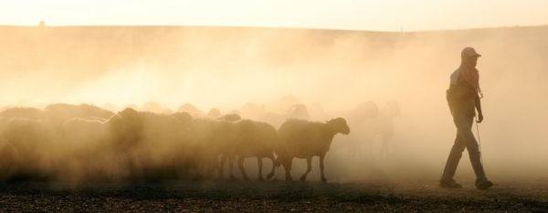 shepherd-leading-sheep2