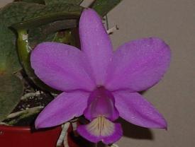cattleya-nobilior-tipo-creta.JPG